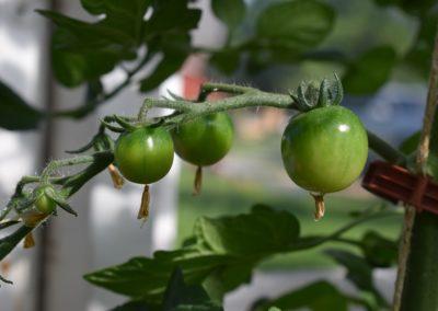 Tomater på tillväxt, Blomstertäppan i Hällaryd