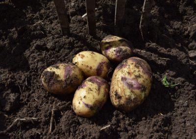 """Potatis """"Blue Bell"""", Blomstertäppan i Hällaryd"""