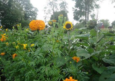 Tagetes och solros, Blomstertäppan i Hällaryd